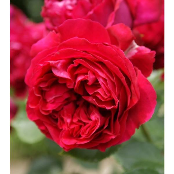RoomClip商品情報 - バラ苗 ルージュピエールドゥロンサール 国産新苗4号ポリ鉢つるバラ(CL) 四季咲き 赤系
