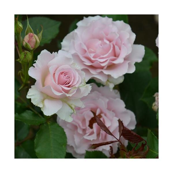 バラ苗 ラマリエ 国産新苗4号鉢フロリバンダ(FL) 四季咲き中輪 ピンク系 河本バラ園|roseshop|02