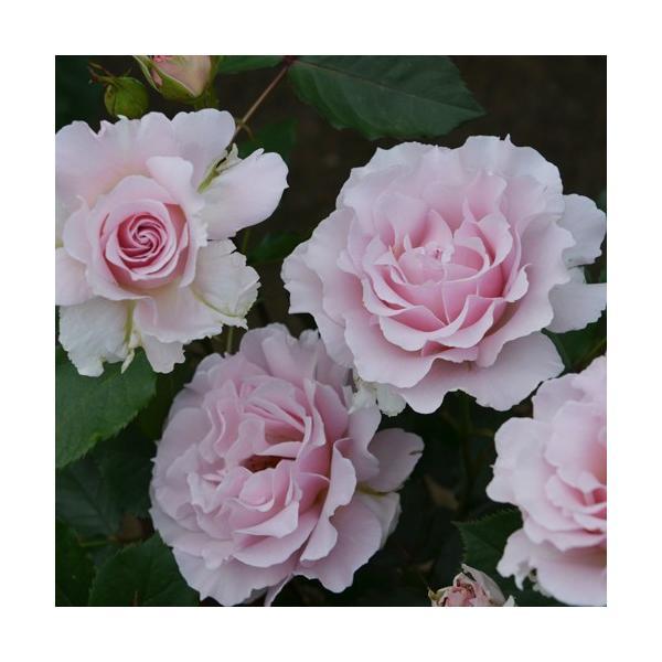 バラ苗 ラマリエ 国産新苗4号鉢フロリバンダ(FL) 四季咲き中輪 ピンク系 河本バラ園|roseshop|03