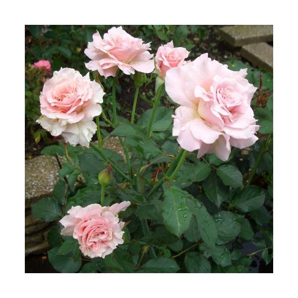 バラ苗 ラマリエ 国産新苗4号鉢フロリバンダ(FL) 四季咲き中輪 ピンク系 河本バラ園|roseshop|04