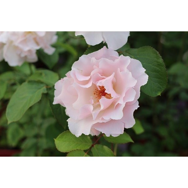 バラ苗 ラマリエ 国産新苗4号鉢フロリバンダ(FL) 四季咲き中輪 ピンク系 河本バラ園|roseshop|05