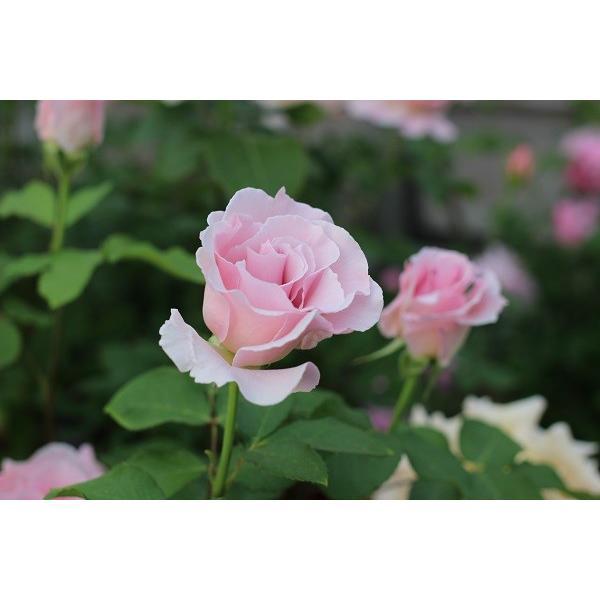 バラ苗 ラマリエ 国産新苗4号鉢フロリバンダ(FL) 四季咲き中輪 ピンク系 河本バラ園|roseshop|06