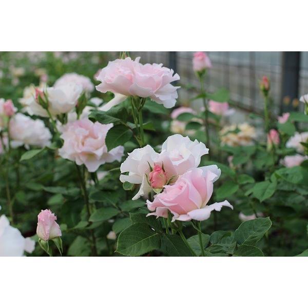 バラ苗 ラマリエ 国産新苗4号鉢フロリバンダ(FL) 四季咲き中輪 ピンク系 河本バラ園|roseshop|07