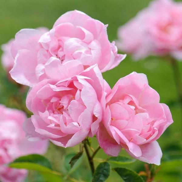 バラ苗 ウインドフラワー 大苗ER6L専用角鉢入 ピンク系 イングリッシュローズ|roseshop
