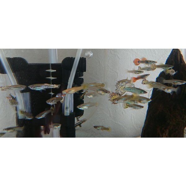 (熱帯魚)グッピーオス1匹淡水魚自宅繁殖可飼育簡単観賞用