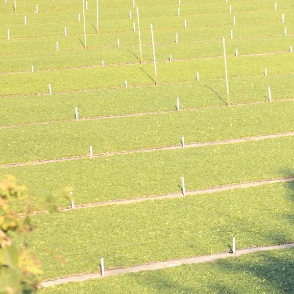 玉竜(タマリュウ) ポットタイプ 1個 自家栽培 産地直送 お試し 7.5cmポット|s-engei|04