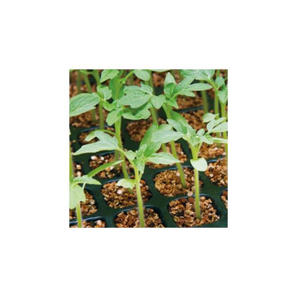 トマト台木の種 グリーンセーブ 1000粒 ( 野菜の種 )