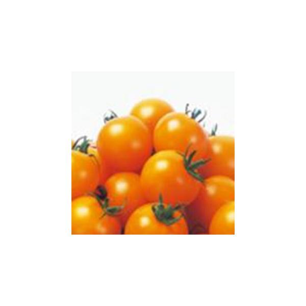 トマトの種 シンディーオレンジ(中玉)  1000粒 ( 野菜の種 )