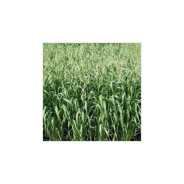 緑肥の種 えん麦 スナイパー(A−19) 1kg
