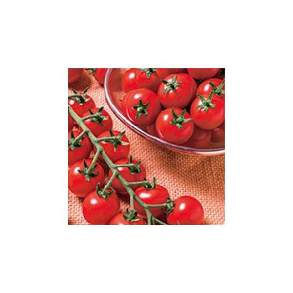 ミニトマトの種  TY千果(TTM−106)  1000粒 ( 野菜の種 )