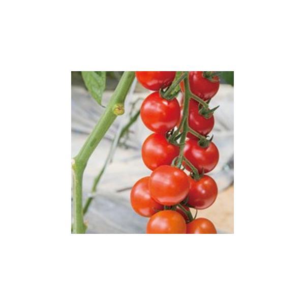 ミニトマトの種  TY千果(TTM−106)  ペレット1000粒 ( 野菜の種 )