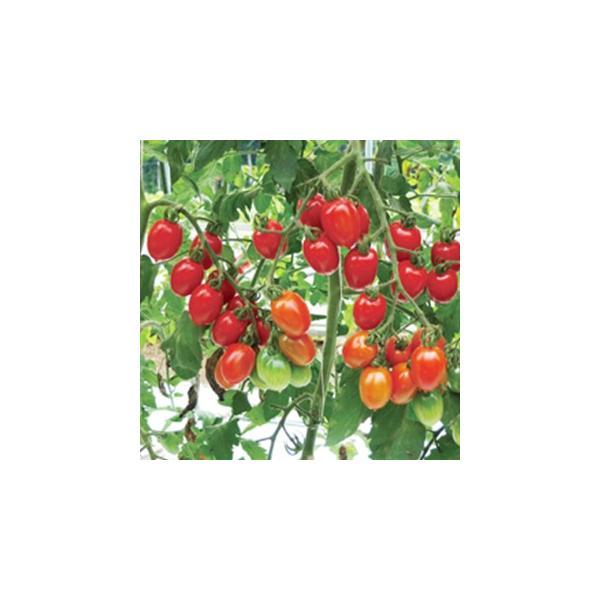 ミニトマトの種 ロッソアモーレ 小袋(8粒) ( 野菜の種 )