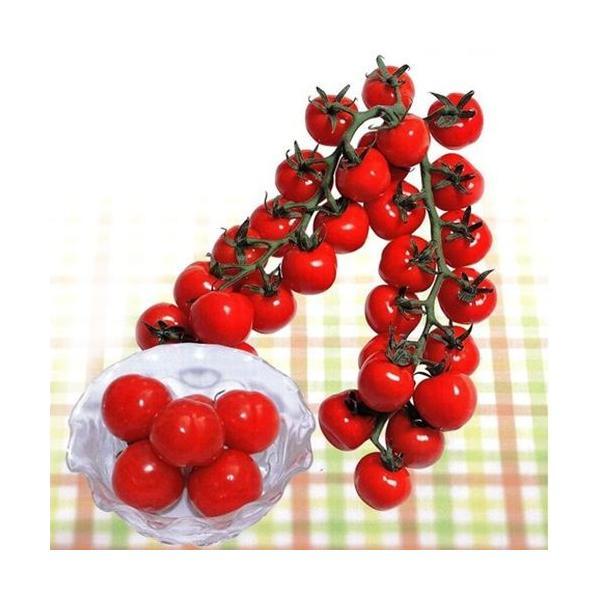 ミニトマトの種 CFプチぷよ キダネ1000粒 ( 野菜の種 )