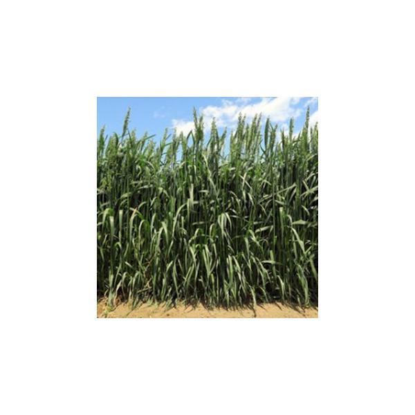緑肥の種 えん麦 ヒットマン 1kg