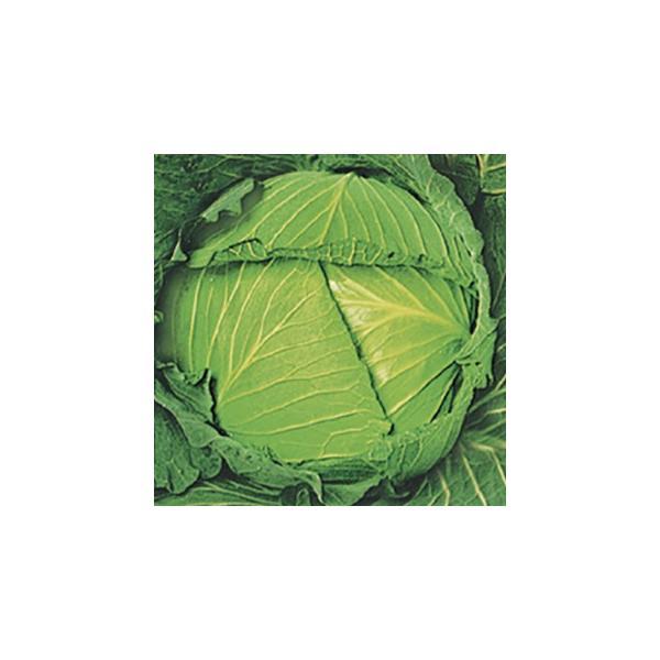 キャベツの種 耐寒大御所 小袋 約1.5ml ( 野菜の種 )