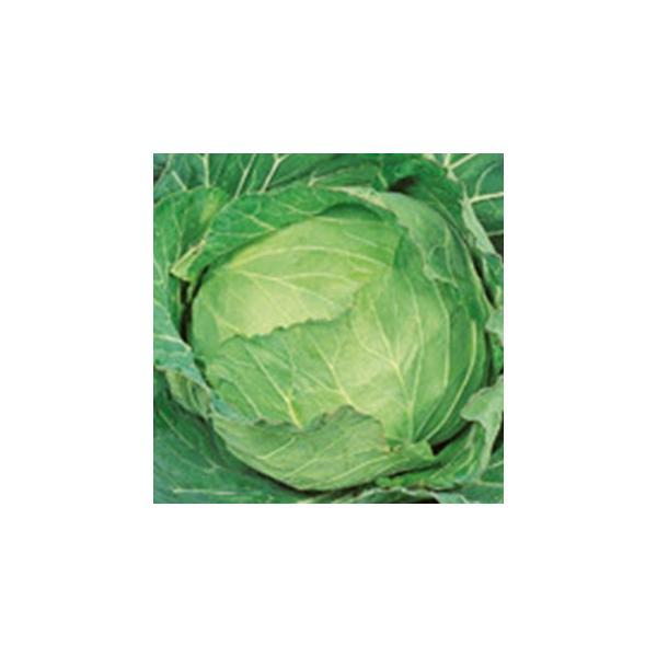 キャベツの種 金春 ペレット5千粒 ( 野菜の種 )
