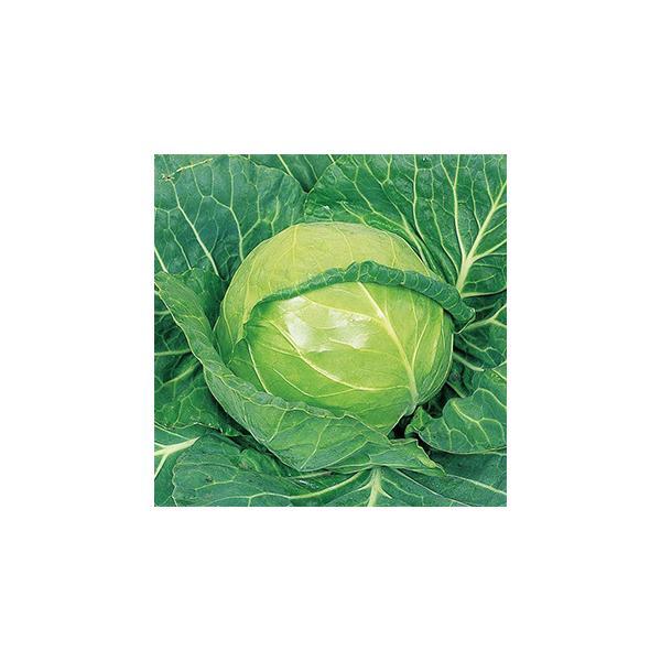 キャベツの種 アーリーボール 20ml ( 野菜の種 )