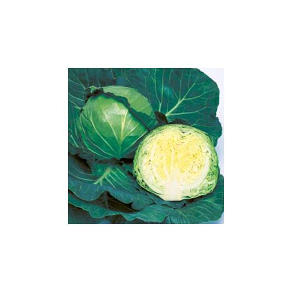 キャベツの種 ジャンヌ RF 0.7ml ( 野菜の種 )