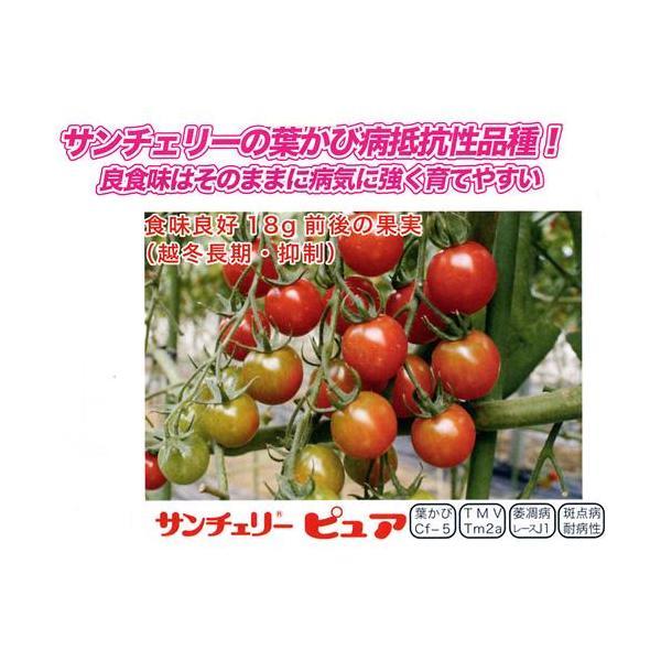 ミニトマトの種 サンチェリーピュア 100粒 ( 野菜の種 )