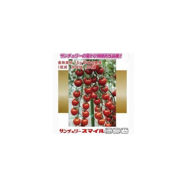 ミニトマトの種 サンチェリースマイル 100粒 ( 野菜の種 )