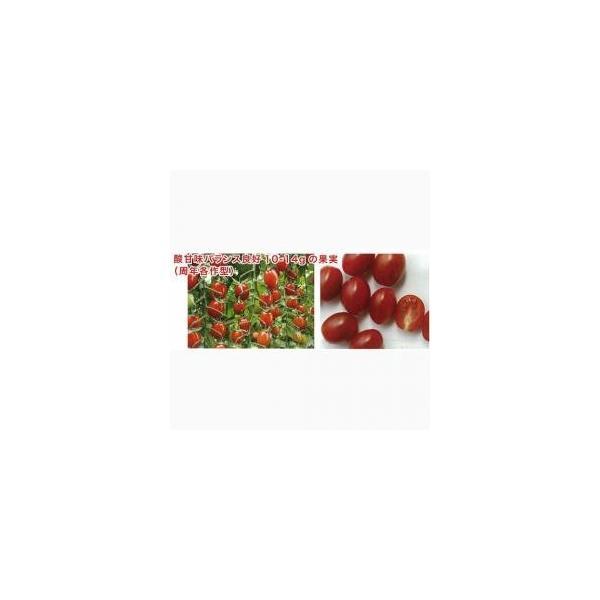 ミニトマトの種 メグちゃん 10ml ( 野菜の種 )