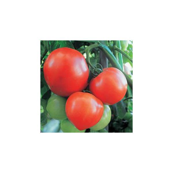 大玉トマトの種 おおみや163 小袋(30粒) ( 野菜の種 )