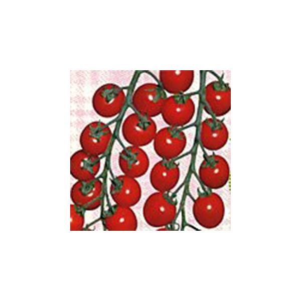 ミニトマトの種 チャプリン2号 1,000粒 ( 野菜の種 )