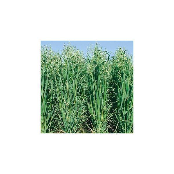緑肥の種 えん麦 たちいぶき 1kg