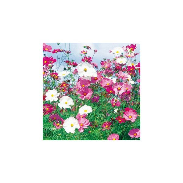 コスモスの種 センセーション混合 小袋(20ml) ( 秋桜 )