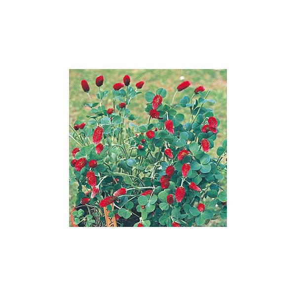クリムゾンクローバー 種  ストロベリートーチ  実咲小袋 ( クリムゾンクローバーの種 )