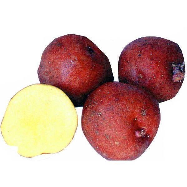 じゃがいも(馬鈴薯) アンデスレッド 種芋 種いも 1kg入り(予約販売)春 秋植え