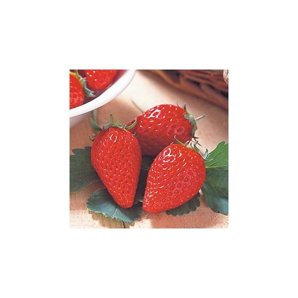 イチゴ苗 章姫 3号ポット 3株セット 予約販売 いちご 野菜苗