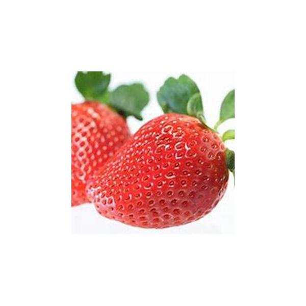 イチゴ苗 アイベリー  3号ポット 1株 予約販売 いちご 野菜苗
