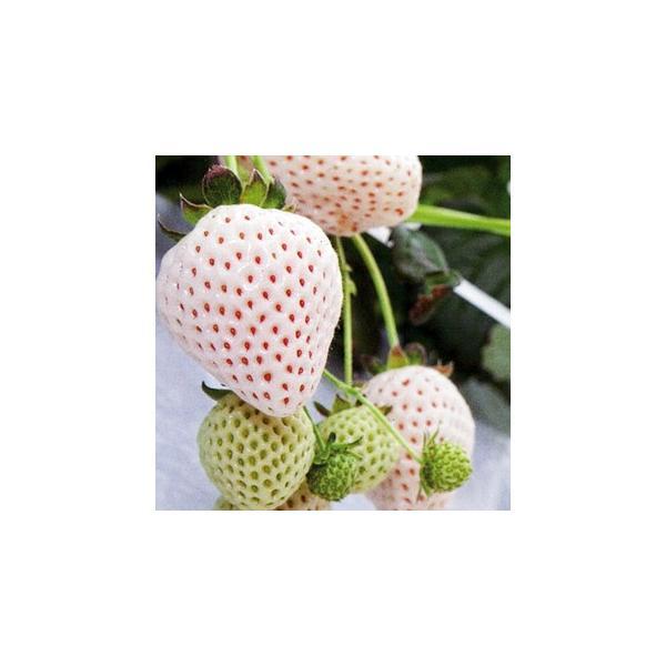 イチゴ苗 天使のいちごAE エンジェルエイト  3号ポット 3株セット 予約販売 いちご 野菜苗