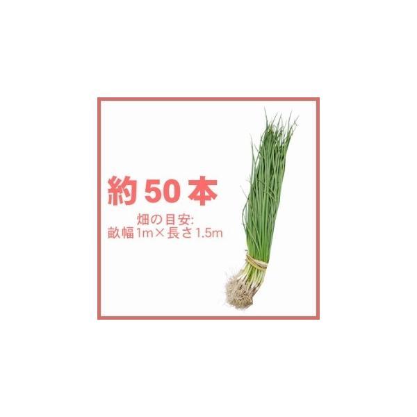 春植え 玉ねぎの苗 予約 晩生品種 タマネギ苗 約50本の画像