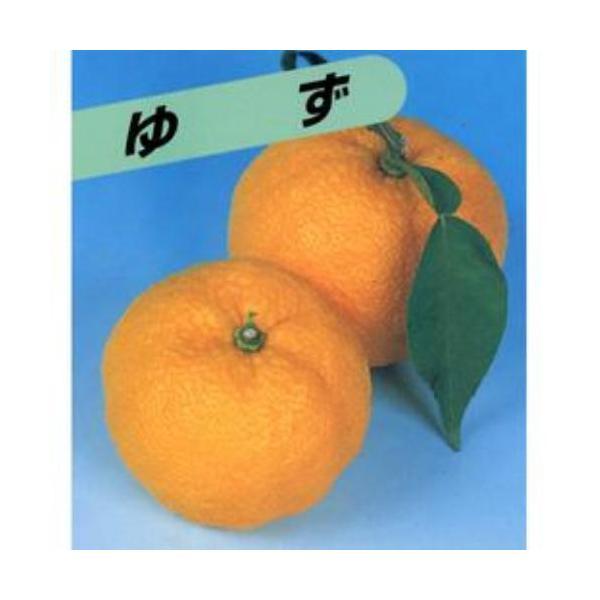柑橘類の苗 柚子 ( ゆず ) 1年生苗木