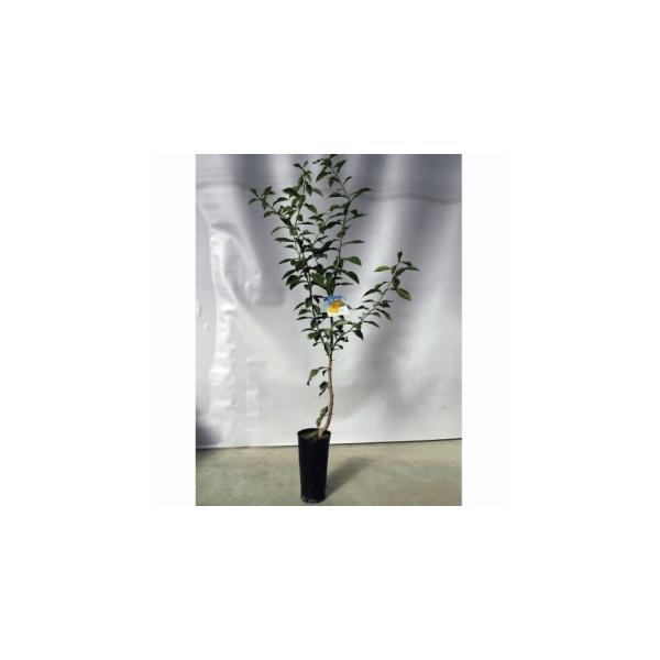 柑橘類の苗 柚子 ( ゆず ) 2年生苗木