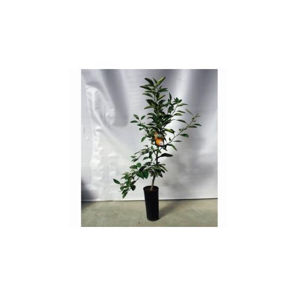 柑橘類の苗 青島温州みかん 2年生苗木