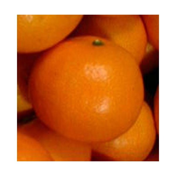 柑橘類の苗 興津早生みかん 1年生苗木
