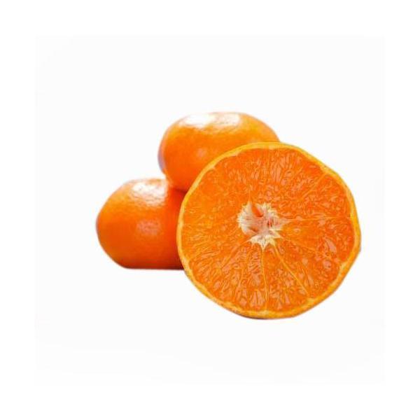 柑橘類の苗 せとか 1年生苗木