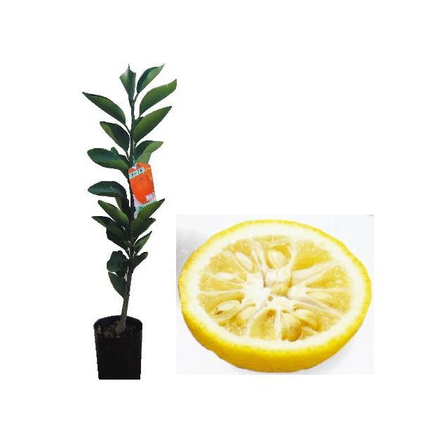 柑橘類の苗 とげなし柚子 1年生苗木