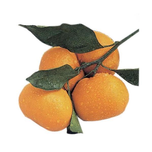 柑橘類の苗 紀州みかん 2年生苗木