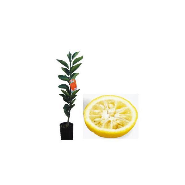 柑橘類の苗 とげなし柚子 2年生苗木