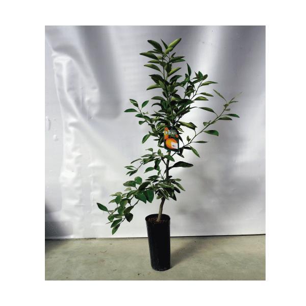 柑橘類の苗 ジャンボレモン 2年生苗木