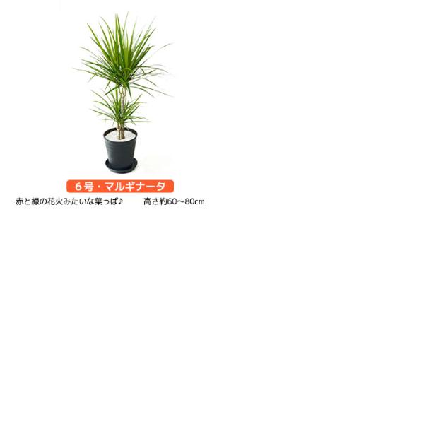 観葉植物 2鉢セット 8号鉢+6号鉢 セラアート鉢 大型 モンステラ サンスベリア ドラセナ ユッカ アレカヤシ パキラ ガジュマル ブラック ホワイト saisyokukenbi 06