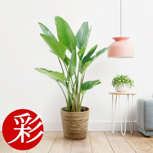 観葉植物 ストレリチア オーガスタ 10号鉢 大型 室内用 インテリア ...