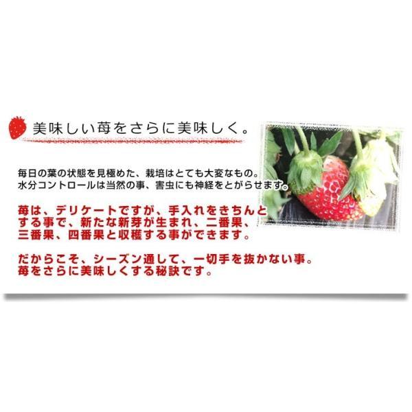 栃木県より産地直送 渡辺さんちのTちゃんいちご(栃乙女) 350g以上  3Lサイズ(9粒から15粒) 送料無料  苺 イチゴ  ※クール便発送|sanchokudayori|06