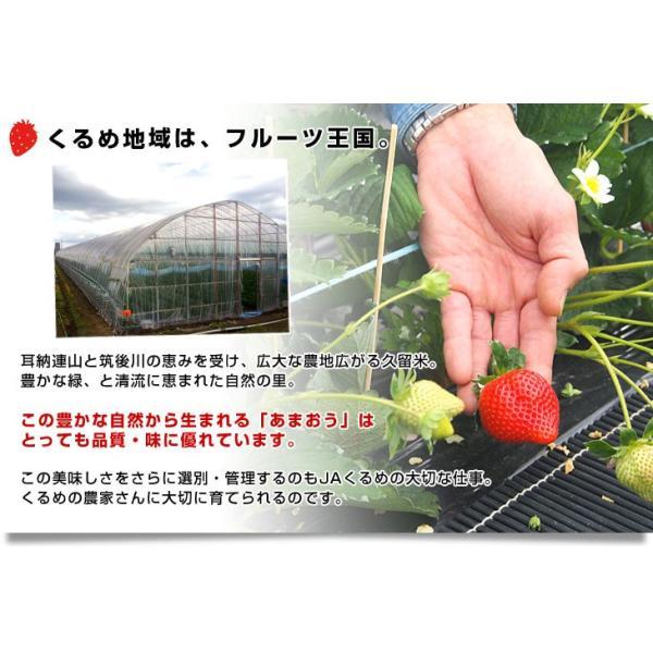 送料無料 福岡県より産地直送 JAくるめ あまおういちご DX:ギフト用デラックス 約540g(270g×2パック) 苺 いちご イチゴストロベリー|sanchokudayori|05