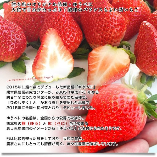 熊本県より産地直送 熊本県JAたまな 新品種の「ゆうべに」 桐箱入 特秀品 4Lサイズ 450g (15粒入り) 送料無料 苺  イチゴ 玉名市|sanchokudayori|04