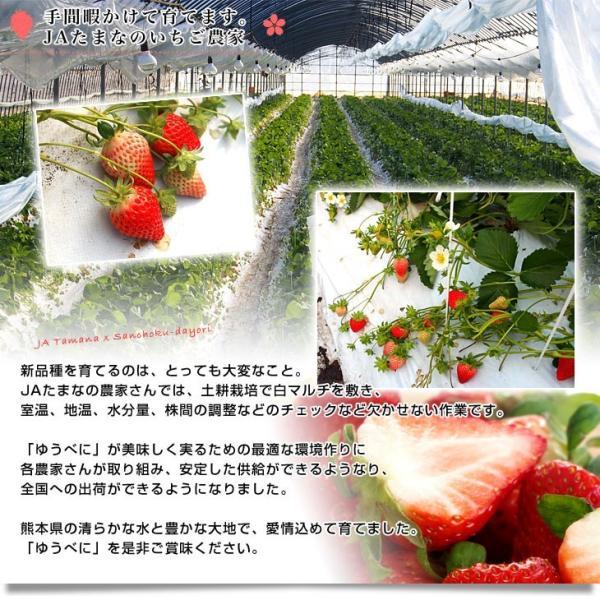 熊本県より産地直送 熊本県JAたまな 新品種の「ゆうべに」 桐箱入 特秀品 4Lサイズ 450g (15粒入り) 送料無料 苺  イチゴ 玉名市|sanchokudayori|06